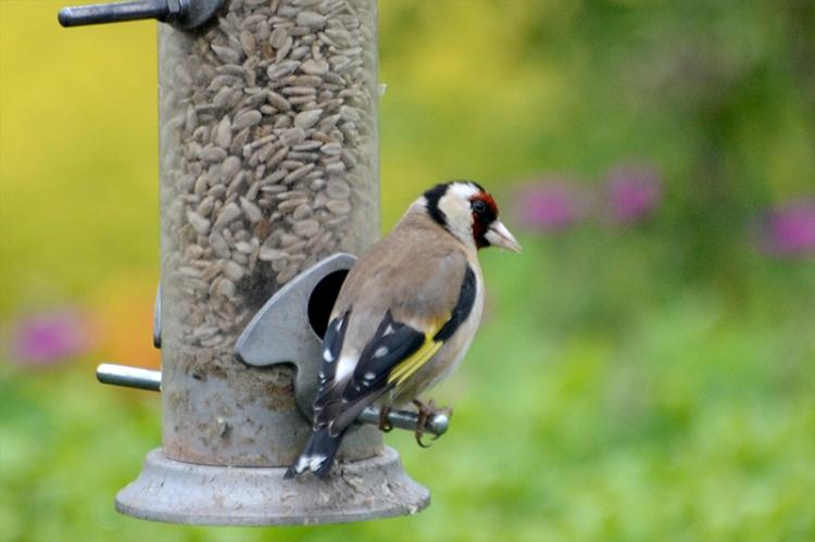 goldfinch on new feeder