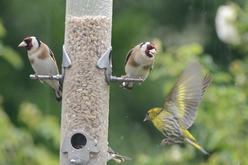 goldfinches sneering at siskin