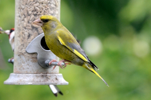 greenfinch close
