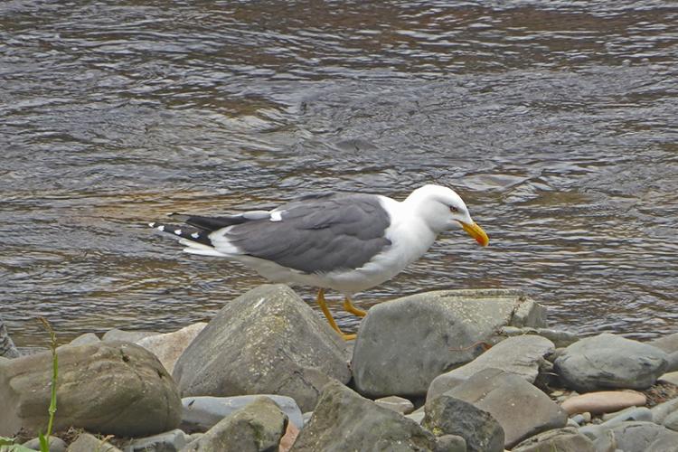 gull by Esk