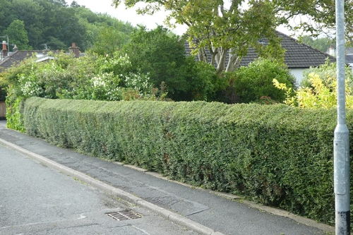 hedge after trimming june