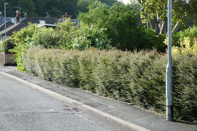 hedge before trimmin June