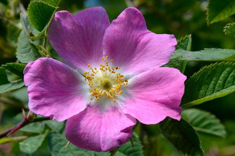 hedge rose tarras