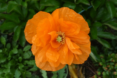icelandic poppy June