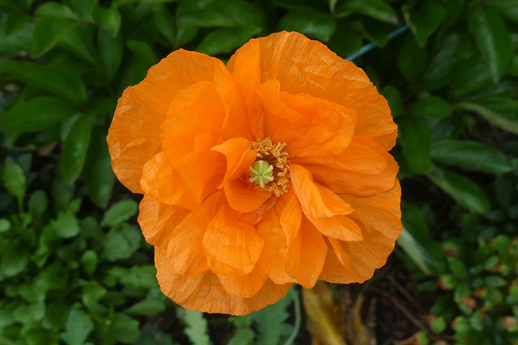 icelandic poppy June