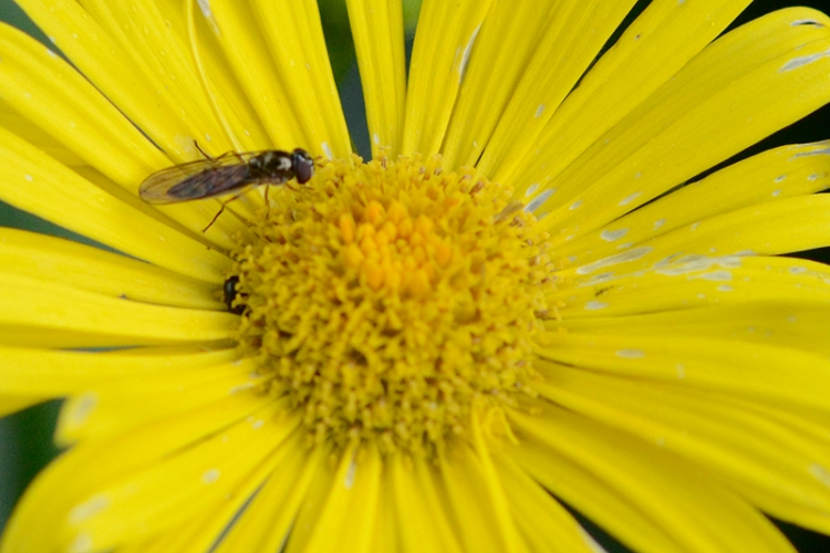 insect on doronicum