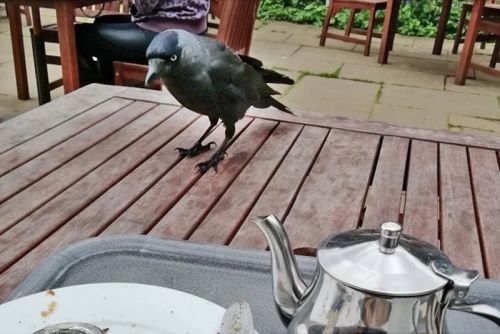 jackdaw for breakfast