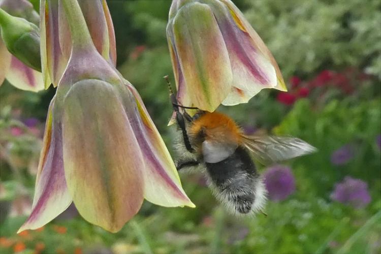 large bee on nectaroscordum