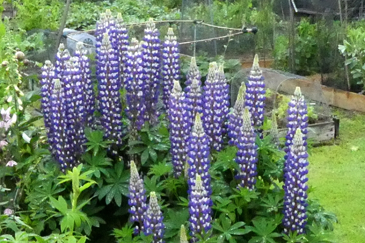 lupins bnearly full out