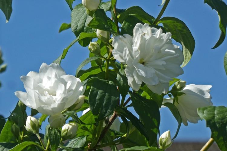 lush philadelphus