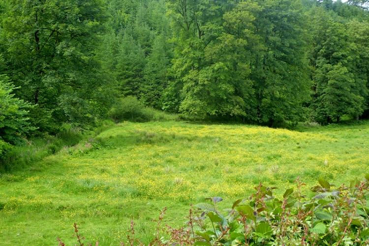 meadow of buttercups