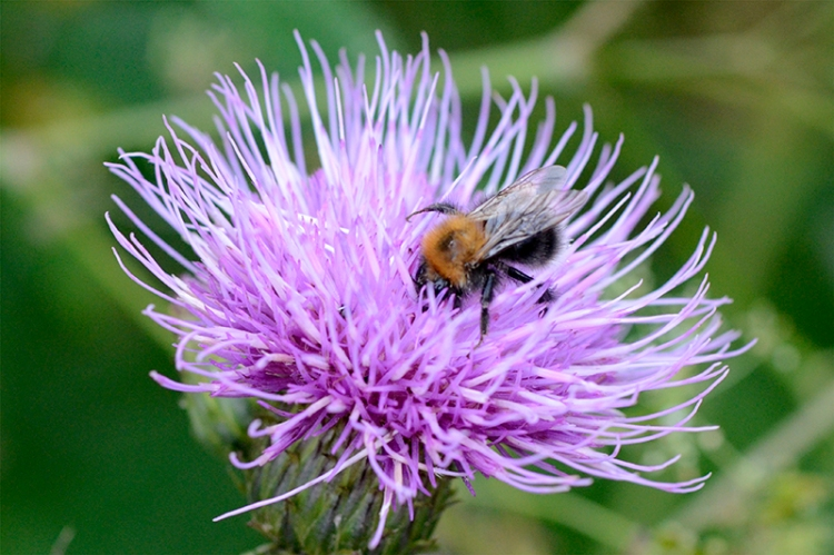 melancholy thistle and friend