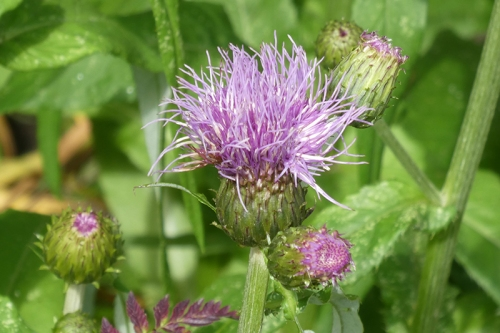 melancholy thistle june