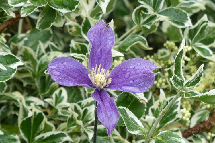 new clematis by old feeder