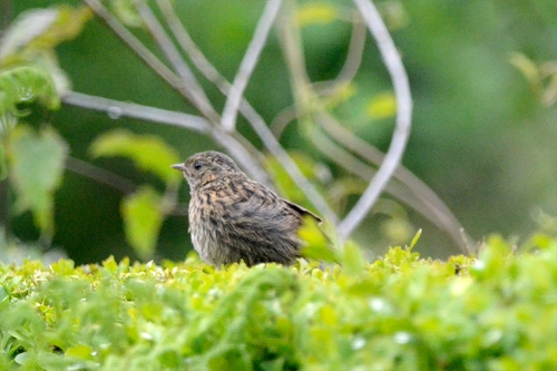 nf dunnock on hedge