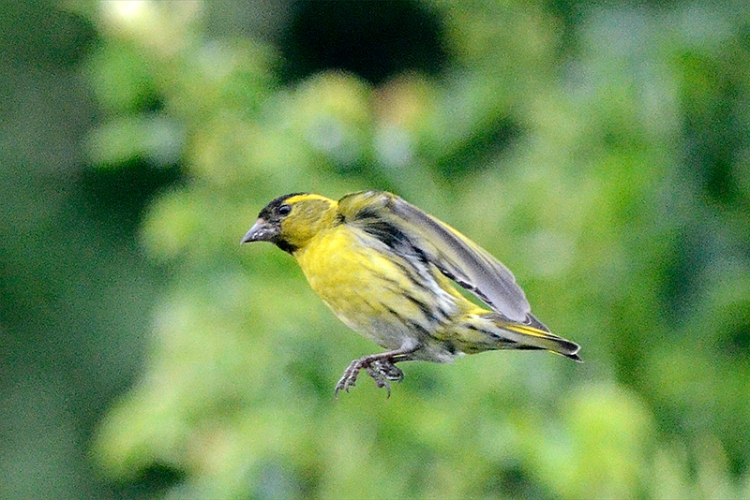 nf flying siskin