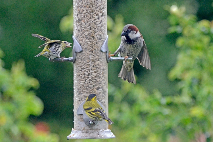 nf siskin and sparrow