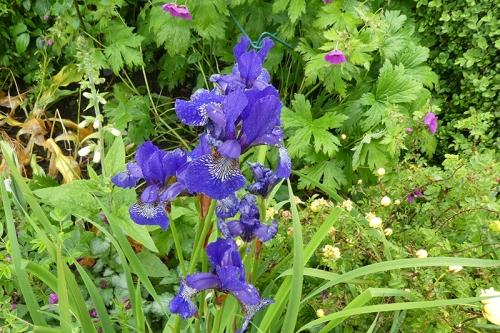 old irises
