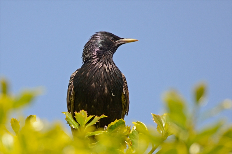 old starling on holly tree