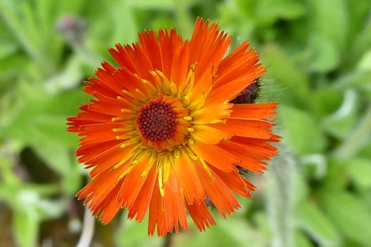 Orange hawkweed june