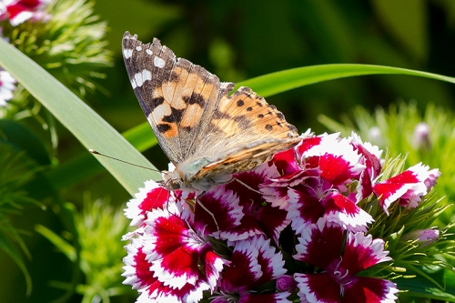 painted lady on sweet william 2