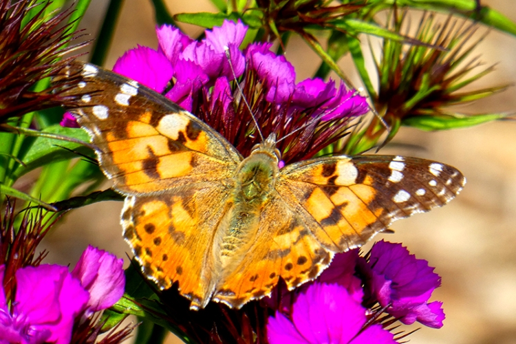 painted lady on sweet william