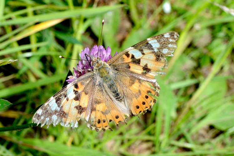 painted lady tarras