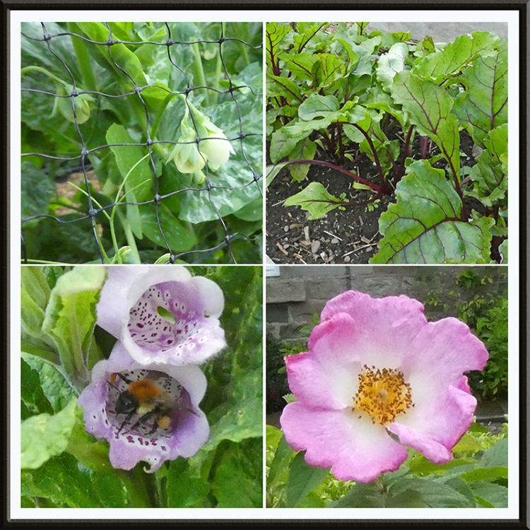 pea beetroot foxglove with bee rose