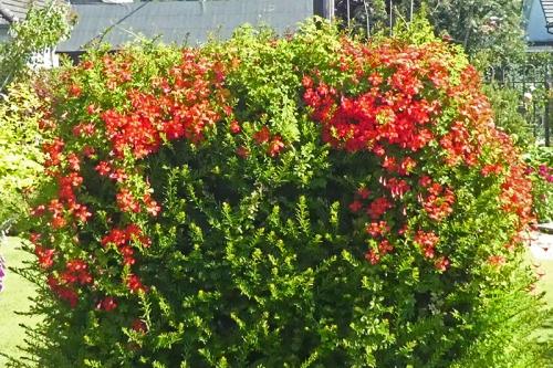 perennial nasturtium on yew