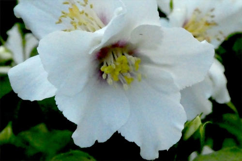 philadelphus flower