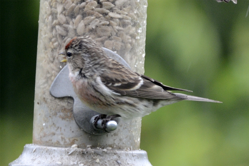 redpoll on new feeder