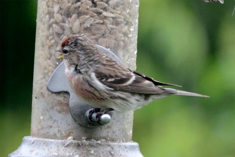 redpoll on new feeder