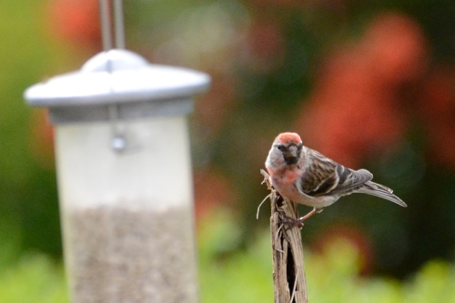 redpoll on stalk