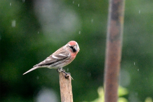 redpoll on sunflower stalk nf