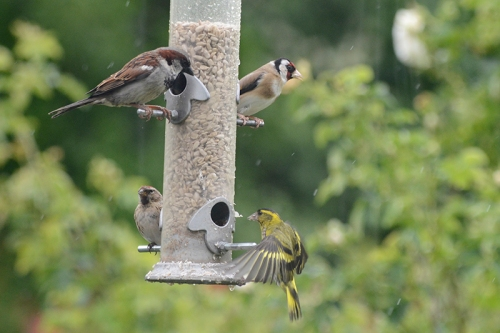 repoll sparrow goldfinch siskin