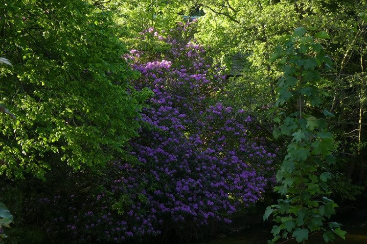 rhododendron from sawmill brig