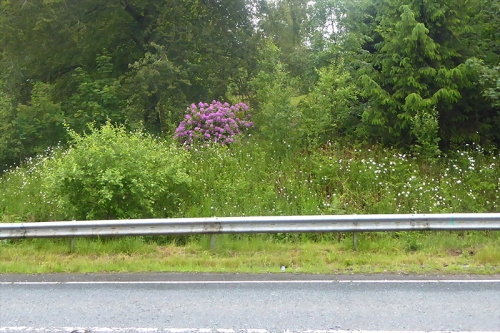 rododendron and dasies by A7