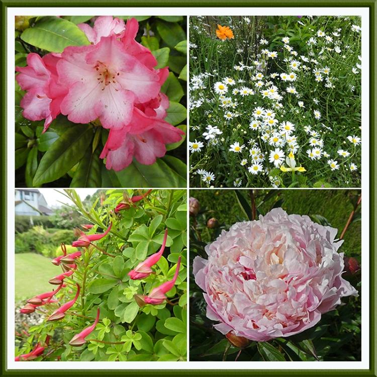 rododendron daisies tropaeolum peony