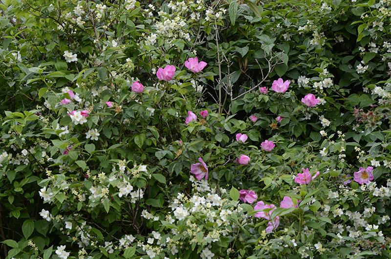 roses and philadelphus