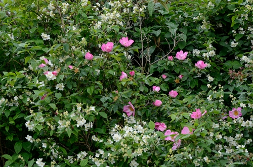 roses and philadelphus