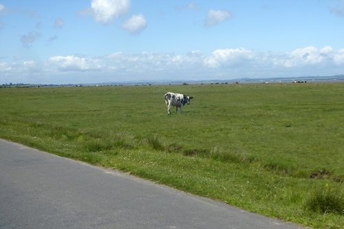 salt marsh cow