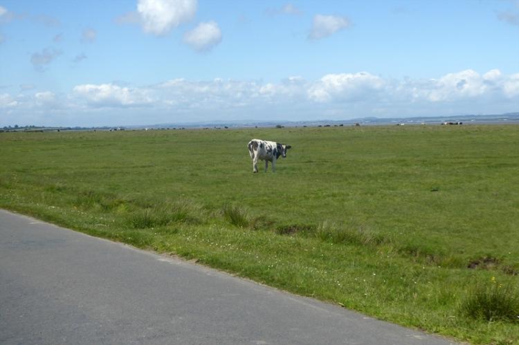 salt marsh cow