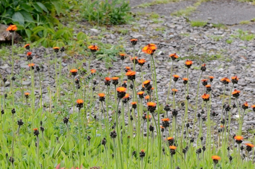 sea of hawkweed
