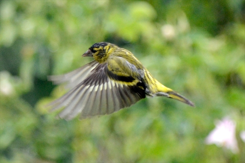 second flying siskin in rain