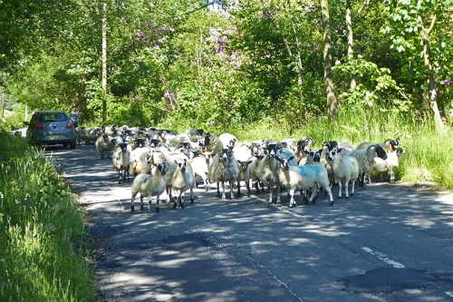 sheep on Benty road