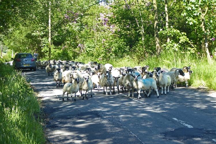 sheep on Benty road