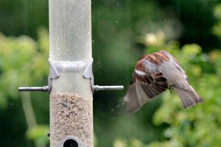 shrouded sparrow