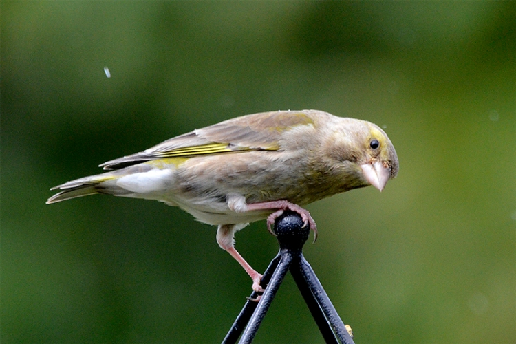 sideways look from greenfinch