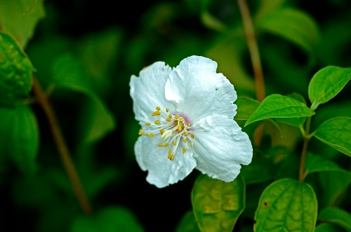 single philadelphus