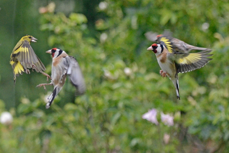 siskin and 2 goldfinches